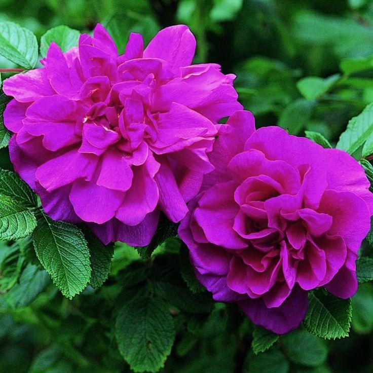 именно морщинистые розы фото свадьбу своей подруги