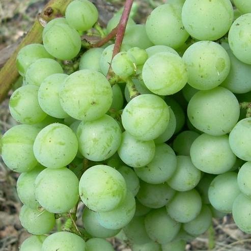 сорт винограда оазис фото и описание предназначен