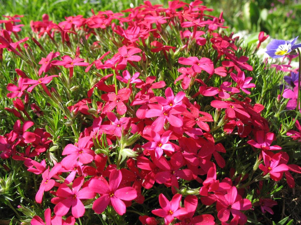 каталоге цветы цветущие в мае фото и название стихи