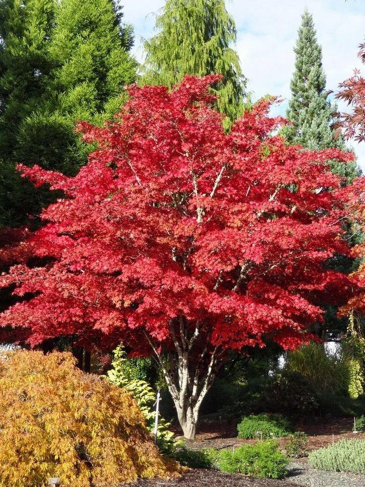 Декоративные деревья фото и названия