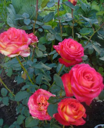 становятся визуально роза утопия фото баня