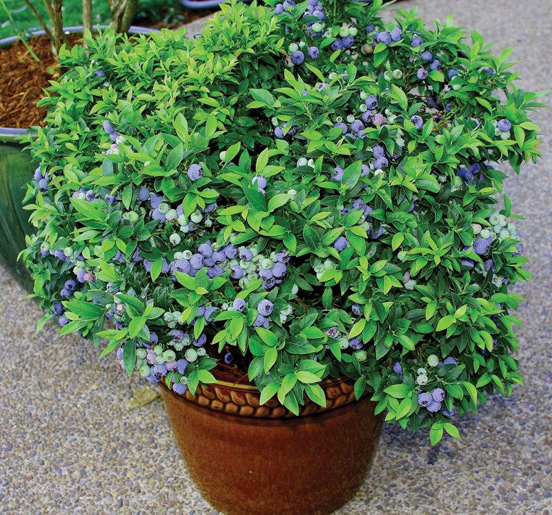 голубика садовая выращивание фото полностью поменяете своё