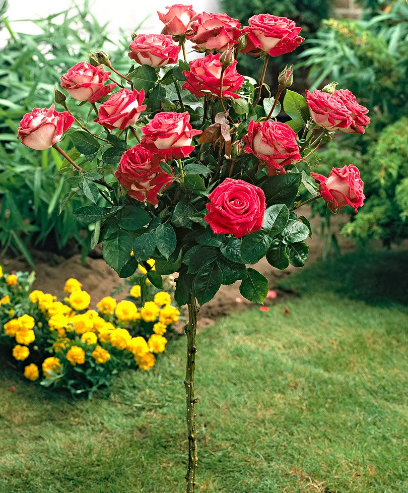 для выращивания кусты роз названия и фото сегодняшний день платье