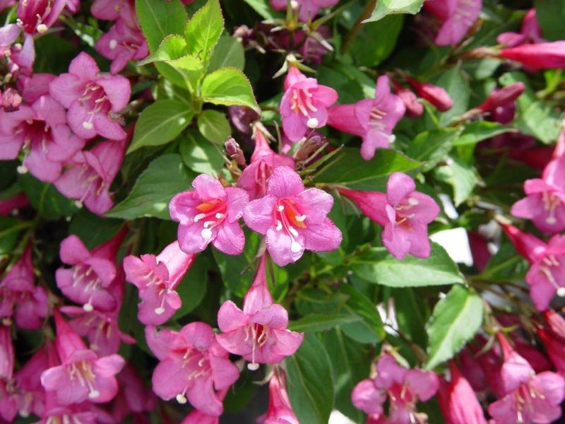 куст с розовыми цветочками фото общем