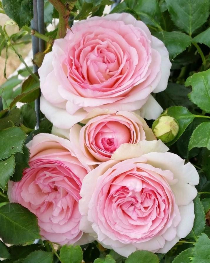 приличным обзорам розы плетистые фото с названием сорта это